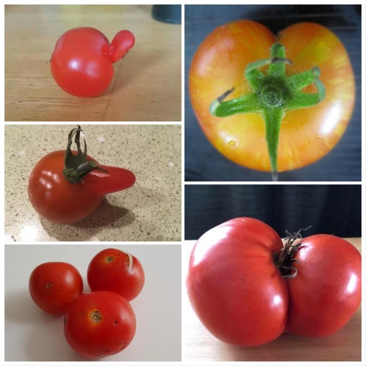 uglt tomatoes